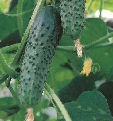 Огурец Экселсиор F1 семена огурца партенокарпического (Enza Zaden / Энза Заден) впвкпук.jpg