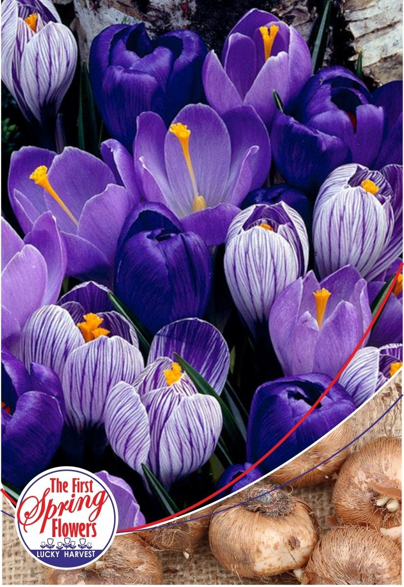 Луковицы Крокуса  крупноцветкового Blue Moon Crocus Mix (Блу Мун Смесь Крокусов) TM Jan de Wit en Zonen B.V. ( количество в упаковке 5 луковиц)