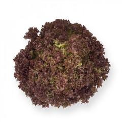 Энтони семена салата лолло росса (Rijk Zwaan / Райк Цваан)