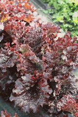 Скороход семена салата дуболистного (Гавриш)
