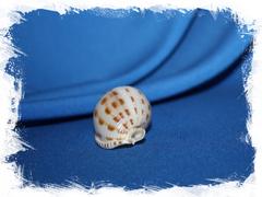 Кассис бисулката (Semicassis bisulcata)