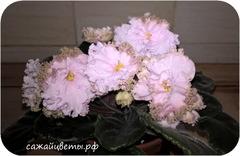 Фиалка ПТ-Цветущая Сакура