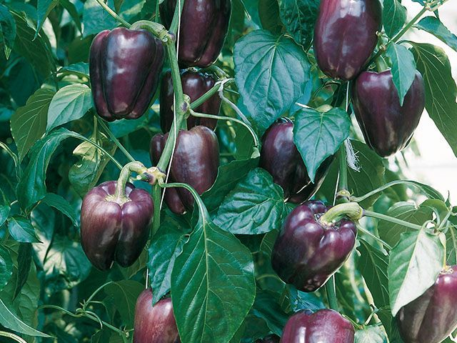 Перец Текила F1 семена перца сладкого (Enza Zaden / Энза Заден) Текила_F1_семена_овощей_оптом.jpeg