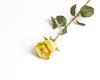 Персиково-фисташковая роза