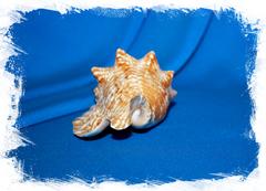 Стромбус Галлус (Strombus gallus)