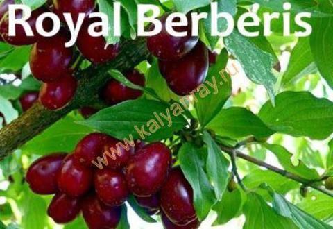Argelini Royal Berberis