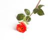 Оранжевая роза