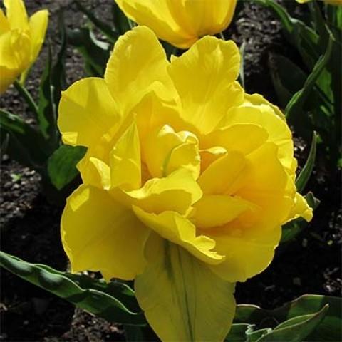 Тюльпан махровый ранний Монте Карло