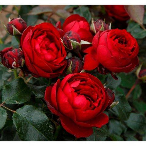 Роза флорибунда Уленшпигель