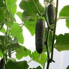 Семена огурца Антисипатор F1, Nunhems, 10 шт.