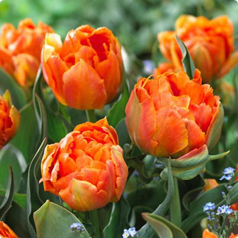 Тюльпан махровый поздний Орка 10 штук