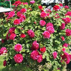 Роза парковая Вильям Шекспир