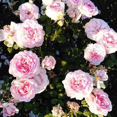 Роза английская Шарифа Асма Sharifa Asma