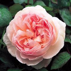 Купить Роза английская Шарифа Асма