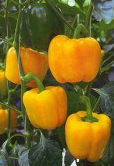 Эспартано F1 семена перца сладкого (Sakata / Саката)