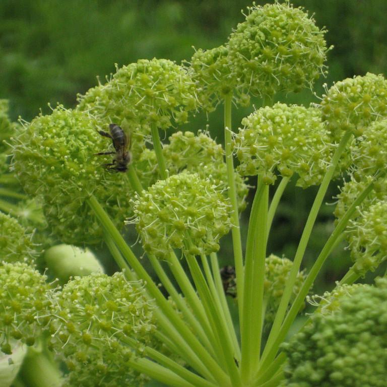 Дягиль растение