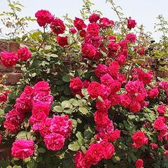 Роза парковая Тесс оф зе д'Эрбервилль