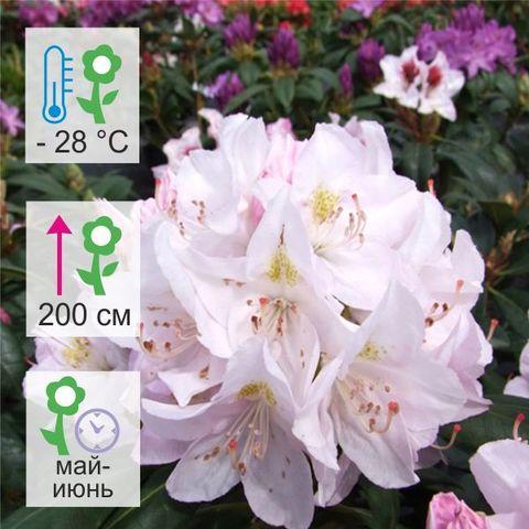 Рододендрон гибридный Катевбинский Альбум