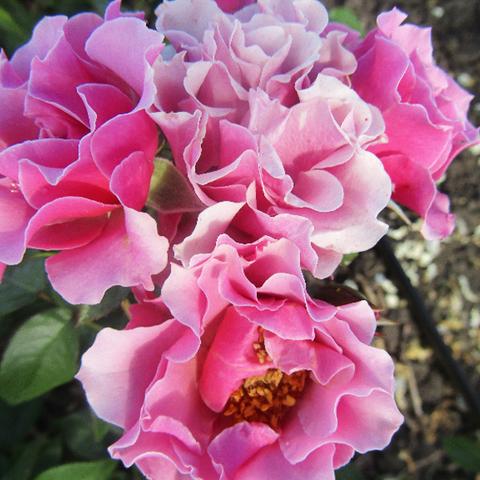 Роза миниатюрная Блю жикадо