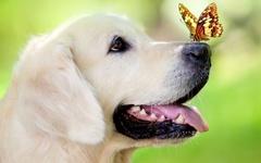 Картина раскраска по номерам 40x50 Лабрадор с бабочкой на носу