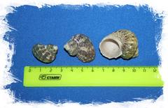 Декоративные морские ракушки Турбо