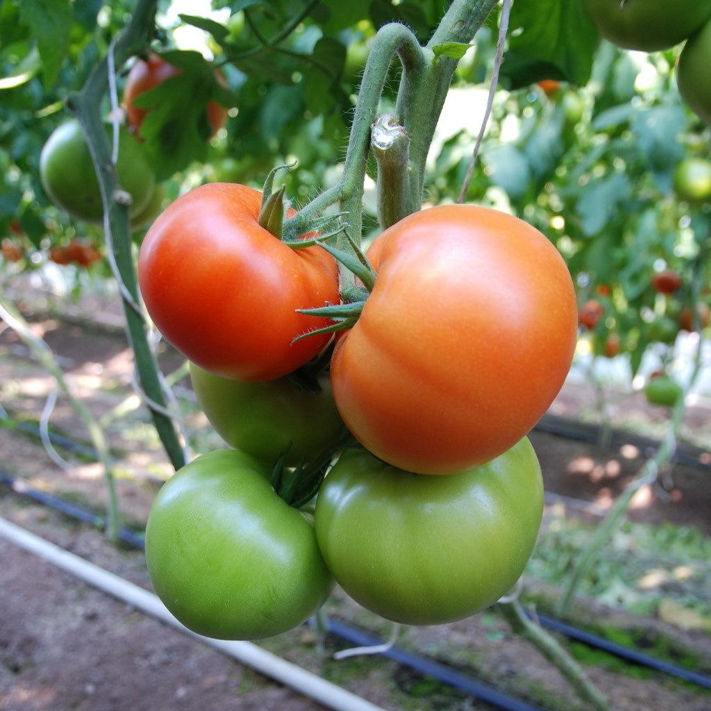 Томат Белфаст F1 семена томата индетерминантного (Enza Zaden / Энза Заден) белфаст.jpg