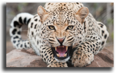 """Постер """"Леопард"""""""