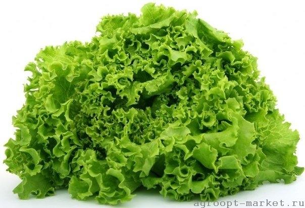 Nunhems Сканстар семена салата листового (Nunhems / Нюнемс) сканстар.jpg
