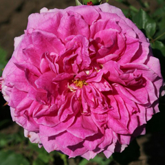 Роза парковая Янг Лусидас