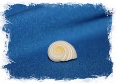 Ракушка Nerita plicata, Нерита пликата