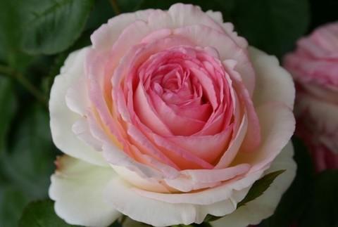 Роза плетистая Иден Роуз