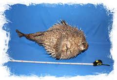 Чучело рыбы Ежадля декора в морском стиле