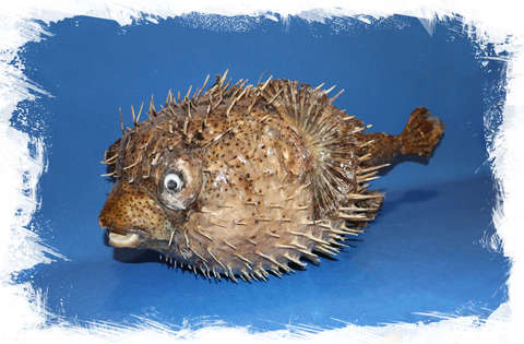 Рыба Ёж декоративная. Купить