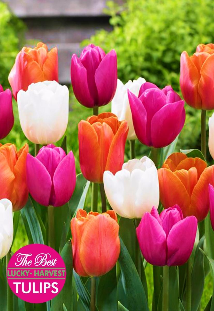 Тюльпан Триумф смесь Eternal Spring (Вечная  Весна) ТМ LUCKY HARVEST 5 шт (Мелкая луковица)
