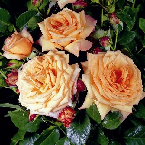Роза плетистая Барок, Тантау