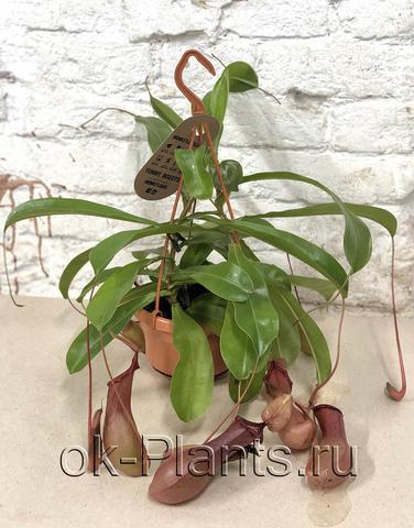 Непентес Алата (хищное растение)