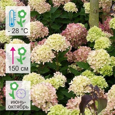 Гортензия метельчатая Пастельгрин Pastelgreen