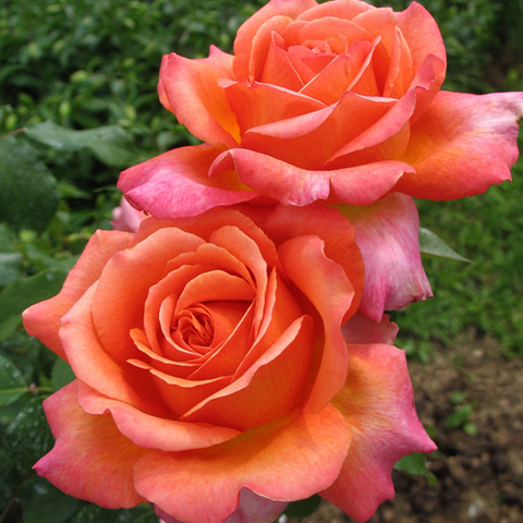 Роза чайно-гибридная Рене Госсинни