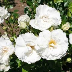 Роза Вайсе Вольке Северный огород