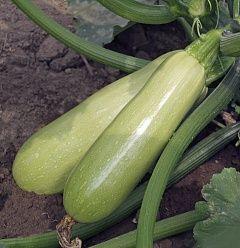 Кабачок Адриелле F1 семена кабачка (Vilmorin / Вильморин) АДРИЕЛЛЕ_F1__CB1146_F1__семена_овощей_оптом.jpg
