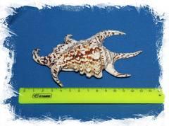 Ламбис Ширагра размер