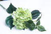 Зеленая гортензия.