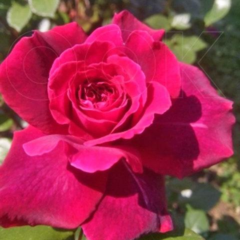 Роза чайно-гибридная Белив Bellevue