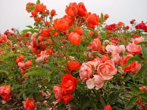 Роза Полиантовая Orange Morsdag