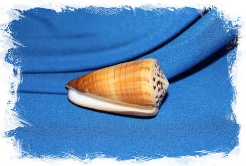 Конус ферригинеус (Conus ferrugineus) 6,5 см.