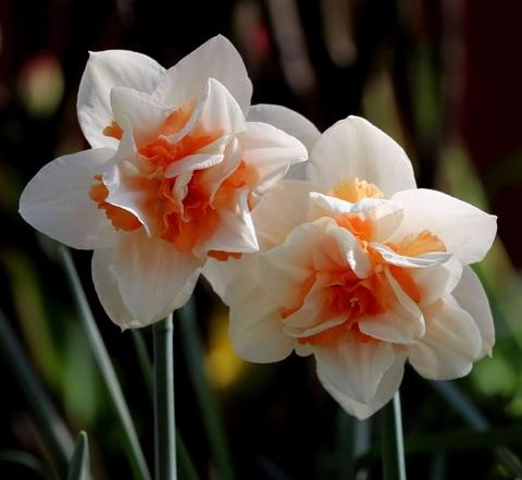 Нарцисс махровый Реплит 12/14 - 5 штук