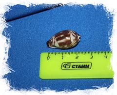 Ципрея дилукулум (Palmadusta diluculum)