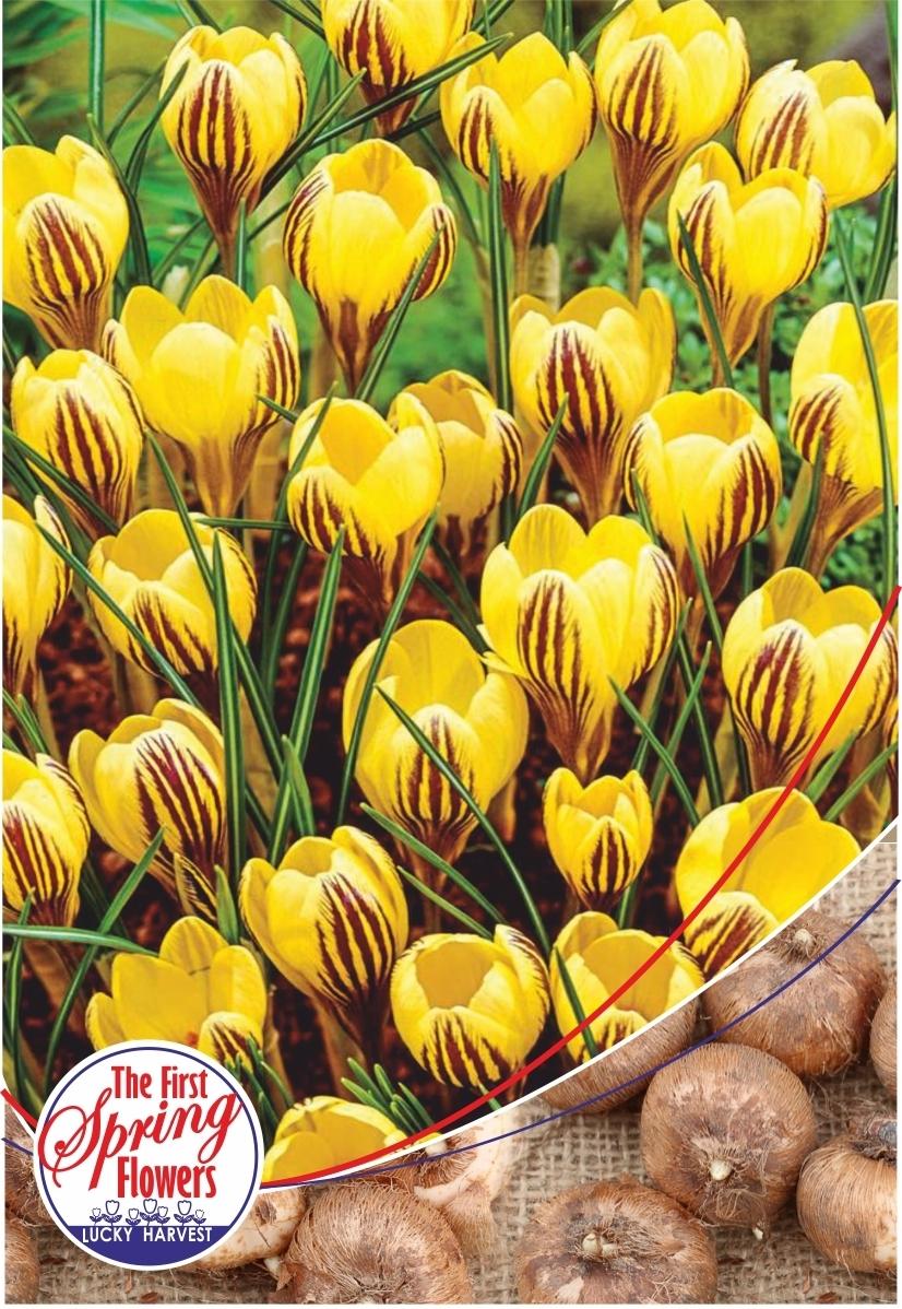 Луковицы Крокуса ботанического  Fuscotinctus  (Фускотинктус) TM Jan de Wit en Zonen B.V. ( количество в упаковке 25 луковиц)