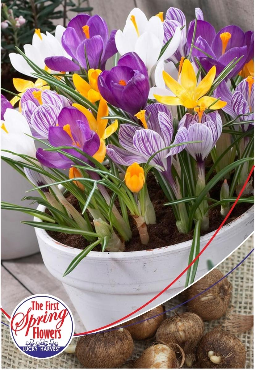 Луковицы Крокуса крупноцветкового Big Flowering Mixed  (Бигфловеринг микс) TM Jan de Wit en Zonen B.V. ( количество в упаковке 25 луковиц)
