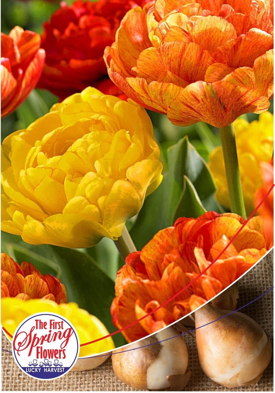 Луковицы Тюльпана Махрового позднего  Sunlover (Санловер) TM Jan de Wit en Zonen B.V. (количество в упаковке 3 луковицы)